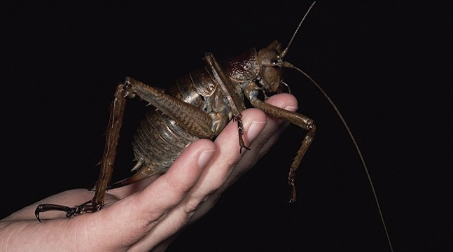 giant weta insect pictures