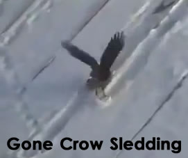 crow sledding video