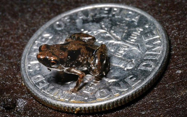 worlds smallest frog found