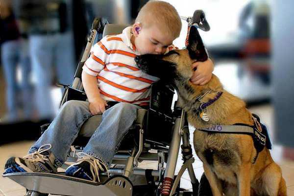 child german shepherd wheelchair