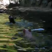 pig saves goat from drowning
