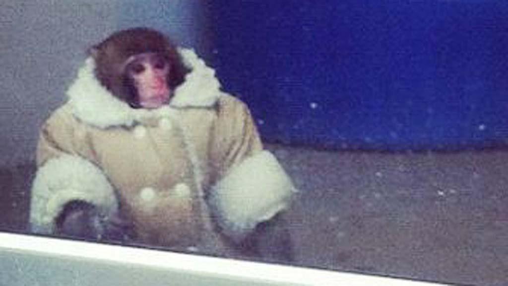 Ikea Monkey Darwin Walks Around Parking Lot Pictures