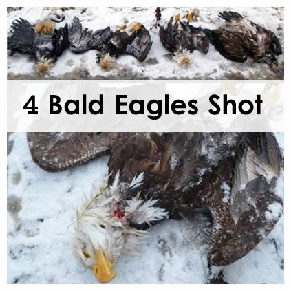 bald-eagles-shot-washington-reward