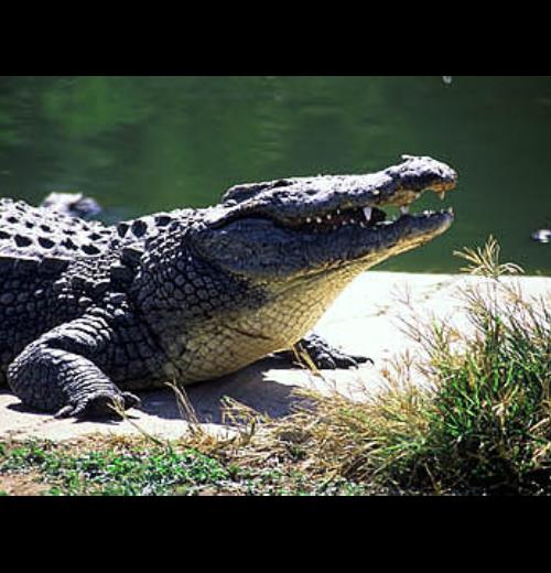 crocodiles-escape-farm