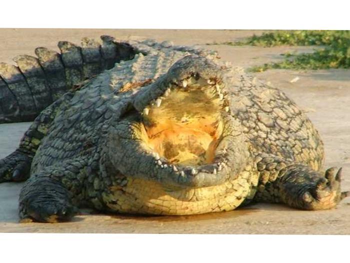 crocodiles escape