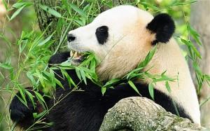 panda-blood-super-drug