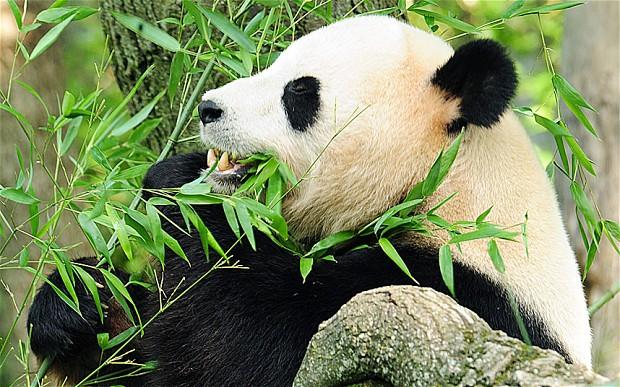 panda blood super drug