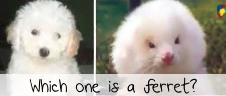ferret on steroids sold as toy poodle