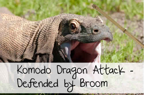 komodo dragon attack broom