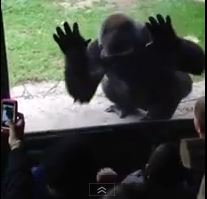 gorilla-scares-kids-zoo-video