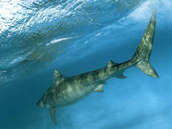tiger-shark-attack-maui