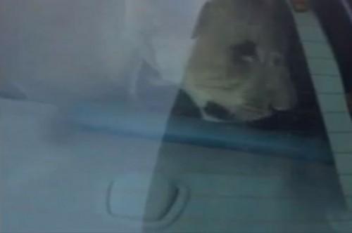 lion car kuwait caught