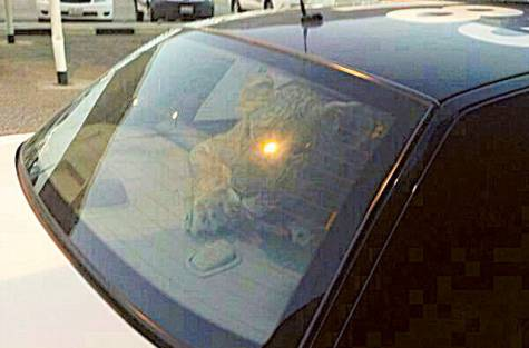 lion-caught-kuwait-police-car