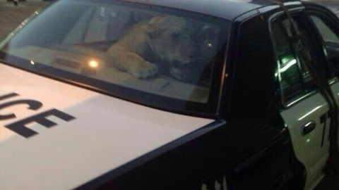 lion-lured-into-car-kuwait