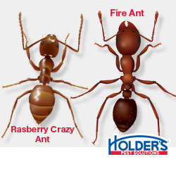 crazy-ants-fire-ants