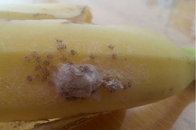 brazilian-wandering-spider-babies-banana