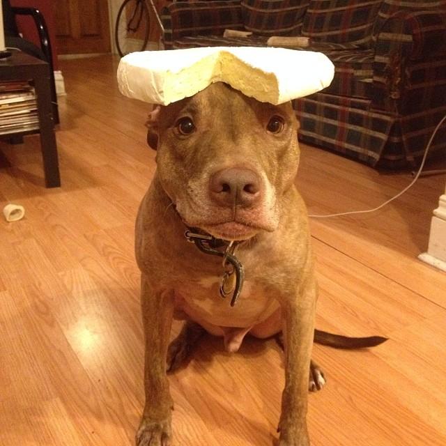 scout-dog-balances-stuff-on-head (1)