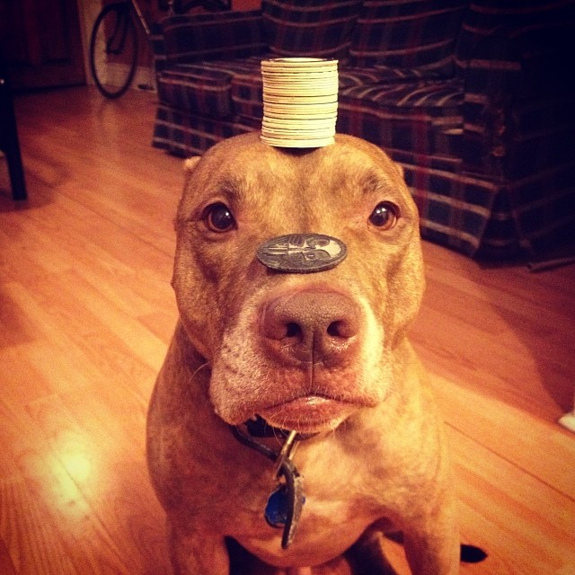 scout-dog-balances-stuff-on-head (2)