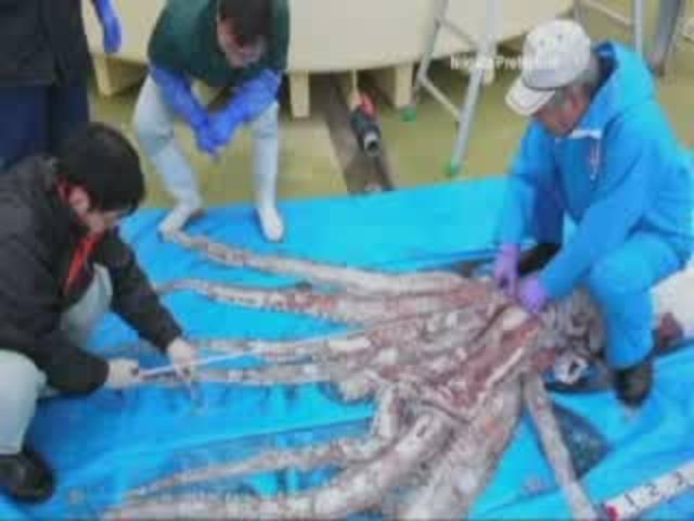 giant-squid-caught