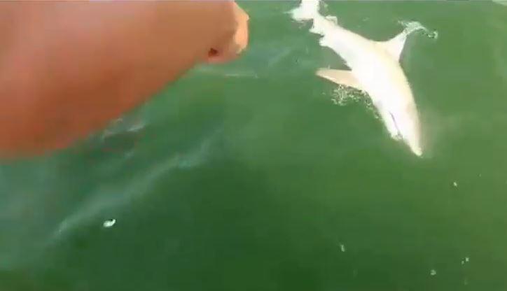 grouper eats shark one bite hook